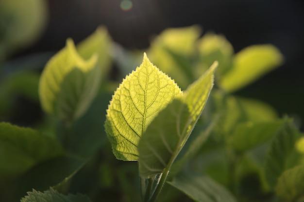 Jeunes feuilles vertes à la lumière du soleil couchant.