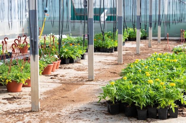 Les jeunes fleurs en pots poussant en serre