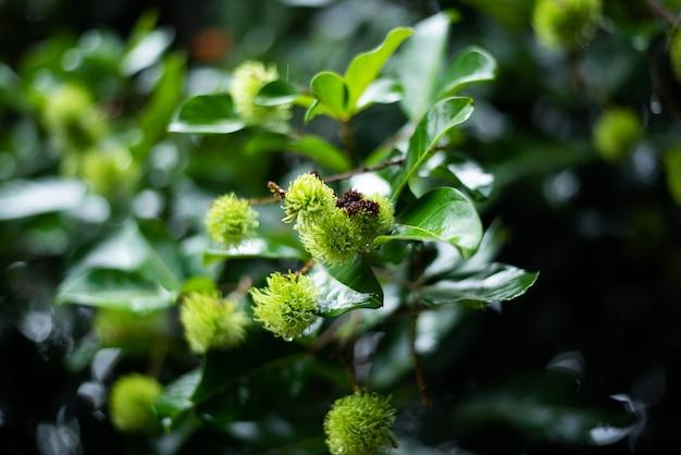 Les jeunes fruits verts du ramboutan sont crus dans le verger