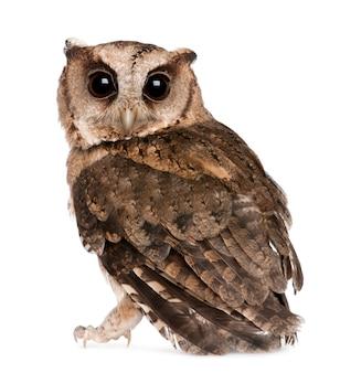 Les jeunes indiens scops owl, otus bakkamoena, sur blanc isolé