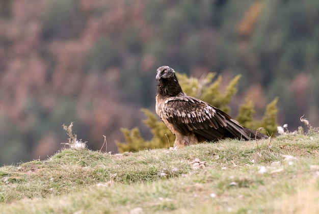 Jeunes de lammergeier battant, charognard, vautours, oiseaux, faucon, gypaetus barbatus