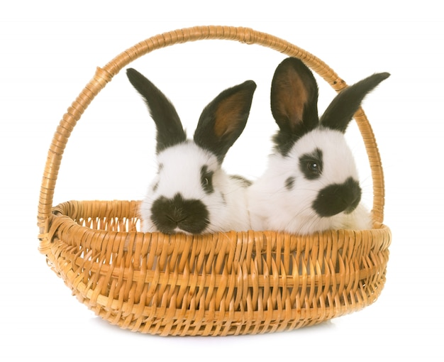 Jeunes lapins géants à carreaux