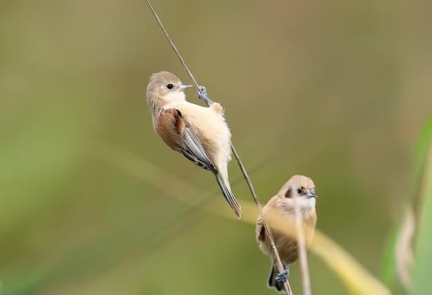 Les jeunes mésanges pendulines pendent sur une fine branche de roseaux