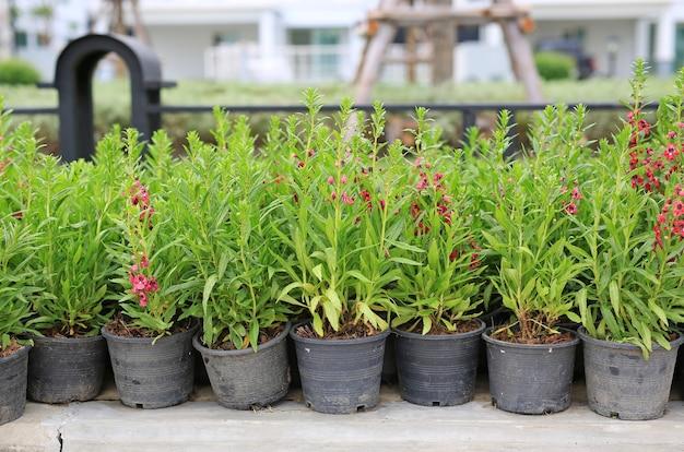Les jeunes ne m'oublient pas de fleurs en pot pour la plantation