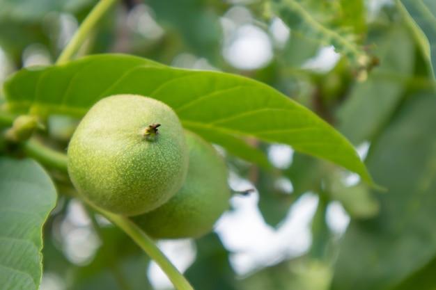 Jeunes noix vertes sur l'arbre. le noyer pousse en attendant d'être récolté. noyer se bouchent. fond de feuilles vertes.