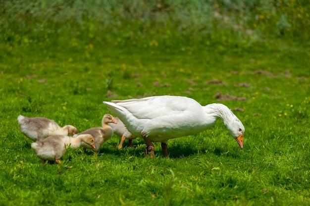 Jeunes oies avec la mère sur le fond de la nature pendant l'été