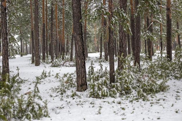 Jeunes pins dans la forêt, recouverts de neige blanche en hiver