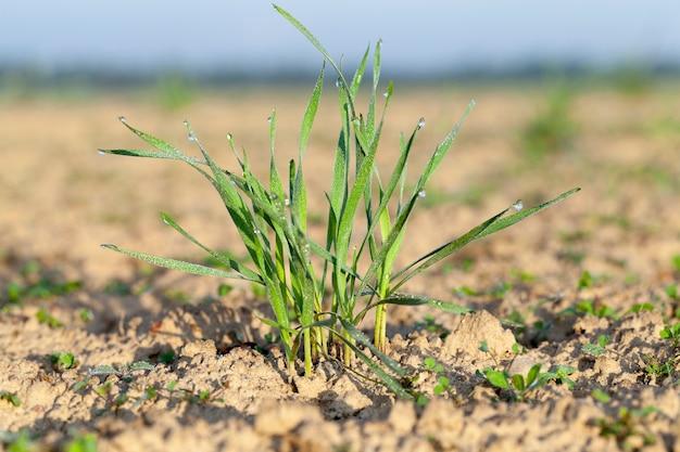Les jeunes plantes d'herbe, gros plan de jeunes plantes d'herbe de blé vert poussant dans le domaine de l'agriculture, de l'agriculture