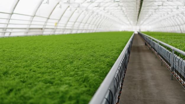 Les jeunes plantes poussant dans une très grande serre commerciale