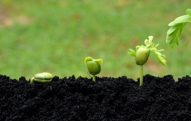 Jeunes plantes de tamarin qui poussent dans le sol sur fond de nature verdoyante. concept de pas en croissance.