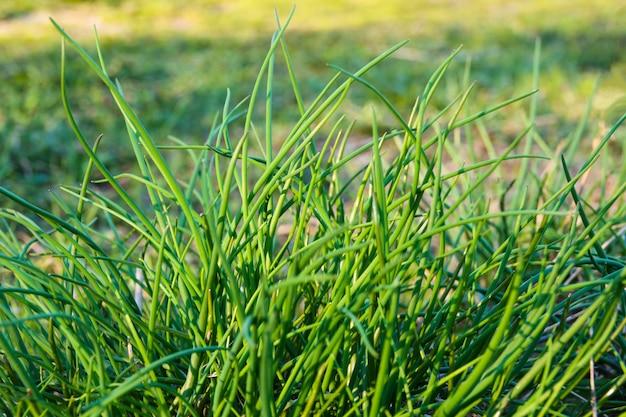 Jeunes plantes vertes oignons de printemps en plantation