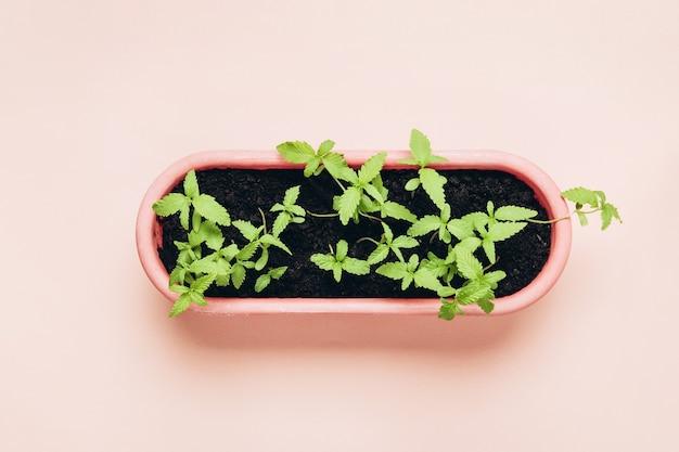 Jeunes plants de cannabis en pot. culture domestique dans une marijuana d'intérieur à des fins médicales.
