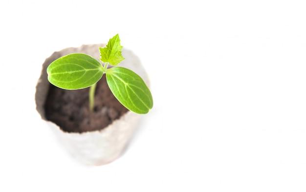 Jeunes plants de concombre isolés