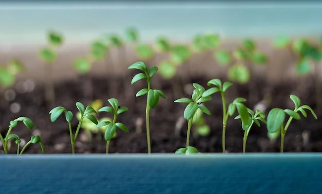 Jeunes plants en croissance.