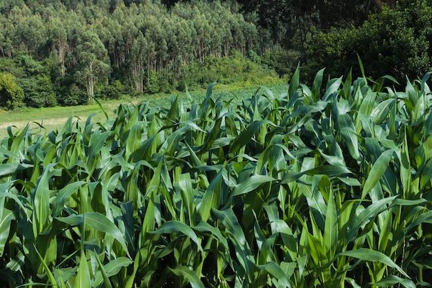 Jeunes plants de maïs dans un champ