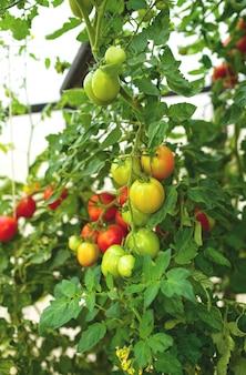 Les jeunes plants de plantes hydroponiques de tomate en serre