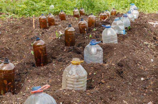 Jeunes plants de plantes potagères recouverts d'une bouteille en plastique