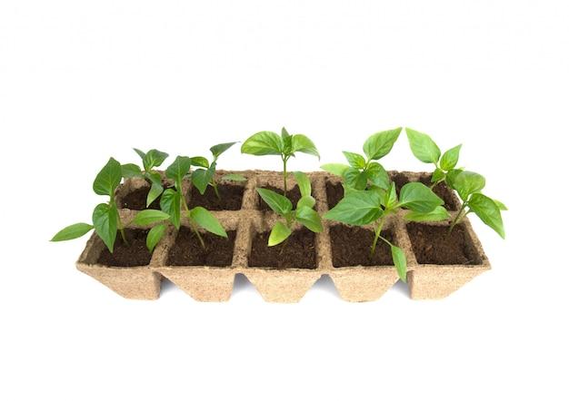 Jeunes plants de poivre isolés