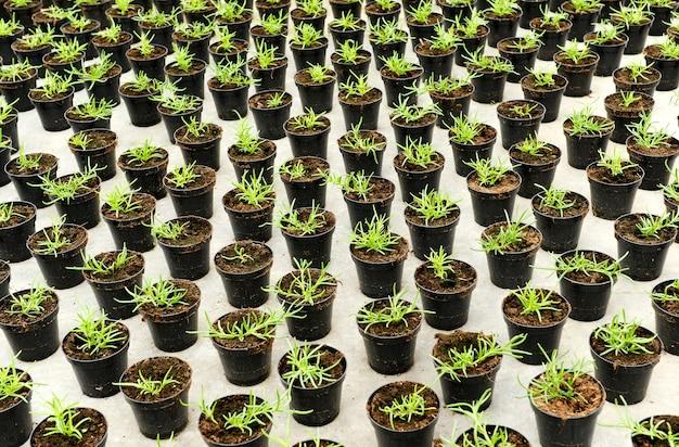 Les jeunes plants en pots de fleurs