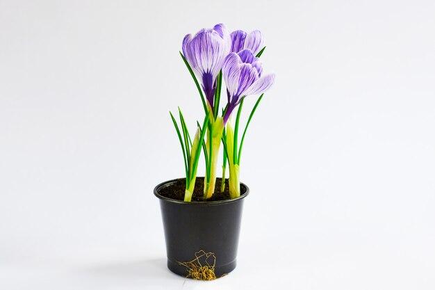 Jeunes plants poussant hors du sol. crocus violet en pot sur le blanc. résultat final du repiquage de la plante à domicile