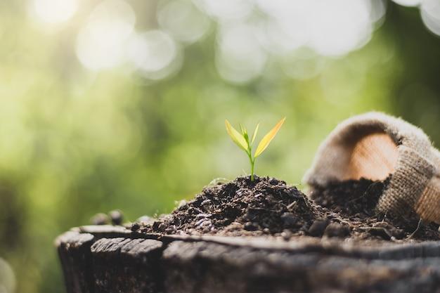 Les jeunes plants sont cultivés à partir du sol qui est placé sur de vieilles billes.