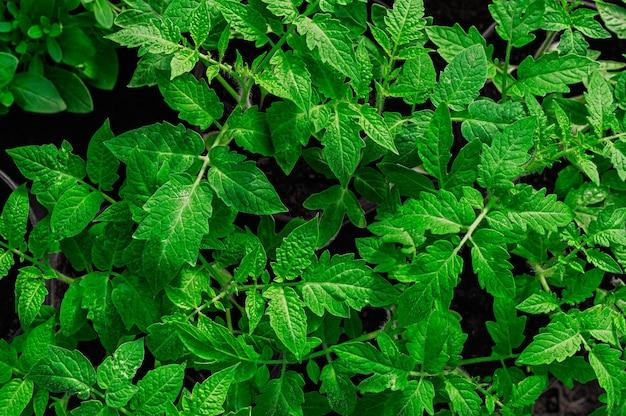 Jeunes plants de tomates vert vif, vue de dessus, gros plan