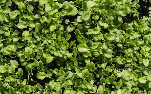 Jeunes plants verts de lobelia.