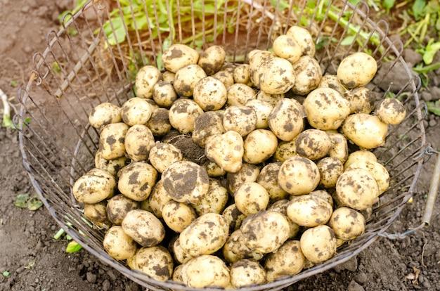 Jeunes pommes de terre jaunes fraîches dans la grille
