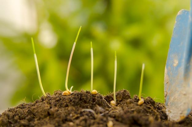 Jeunes pousses de blé et de blé sur le sol du sol au printemps.