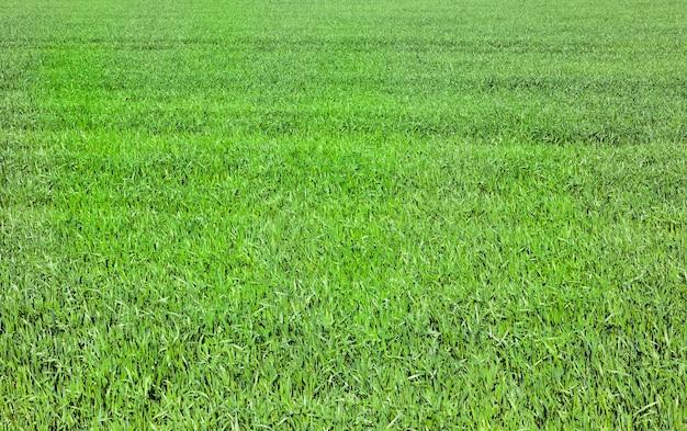 Jeunes pousses de blé vert au printemps. photo en gros plan