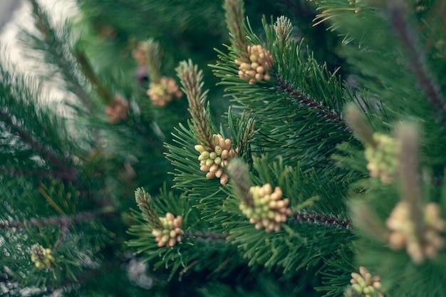 Les jeunes pousses et cônes de pin se bouchent. texture de fond naturel de conifères. flou de mise au point sélective.