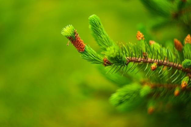 Les jeunes pousses et cônes de pin se bouchent. texture de fond naturel. flou de mise au point sélective.