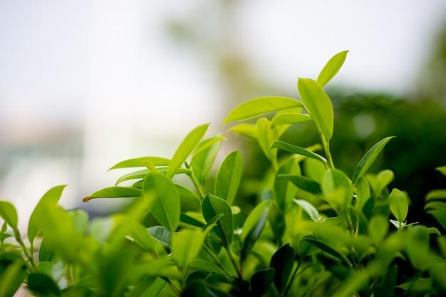 Jeunes pousses feuillues vertes de feuilles belle