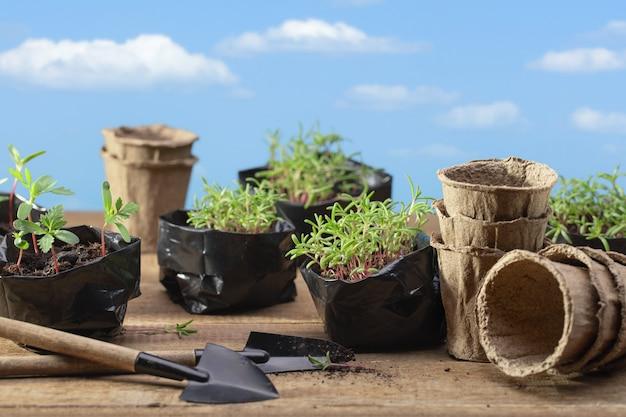 Jeunes pousses de fleurs poussant dans des sacs en plastique sur fond de ciel bleu avec des nuages transplantation de semis dans des pots de tourbe concept de jardinage printemps