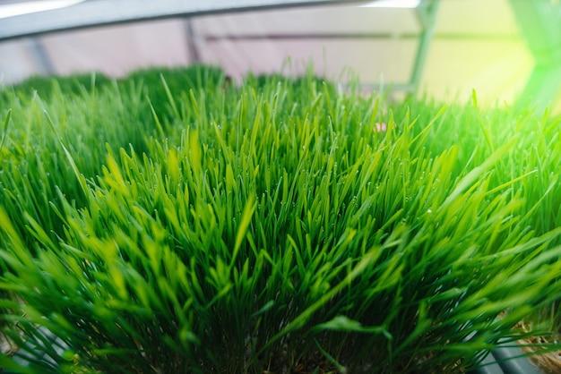 Jeunes pousses juteuses de micro-pousses en serre. cultiver des graines. alimentation équilibrée.