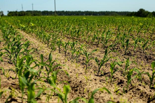 Jeunes pousses de maïs sur le terrain