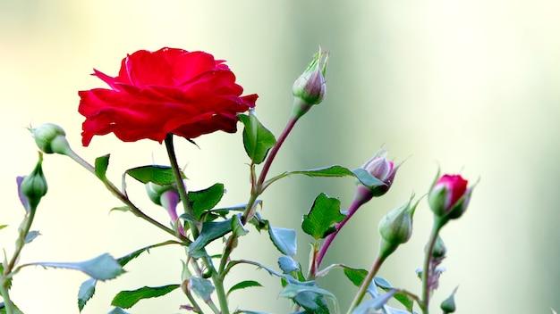 Jeunes pousses d'une rose en train de fleurir.