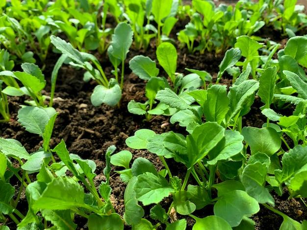 Jeunes pousses vertes et feuilles au lit en serre