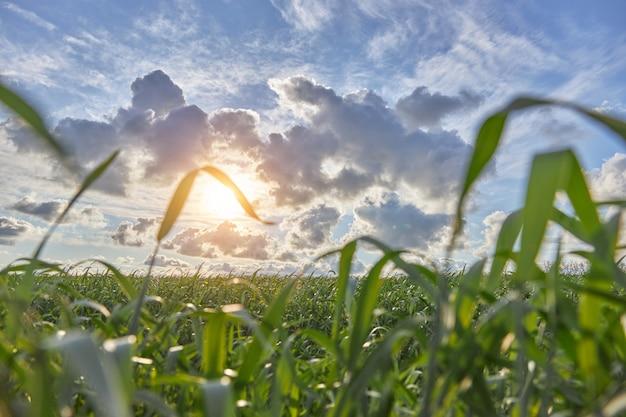 Jeunes pousses vertes de maïs sur un ciel nuageux au printemps