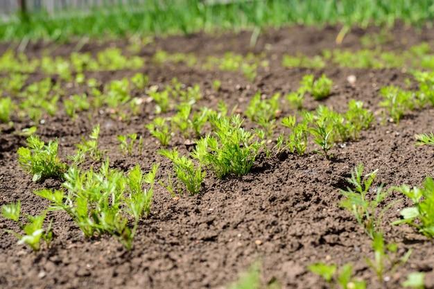Jeunes pousses vertes, pousses de carottes dans le jardin