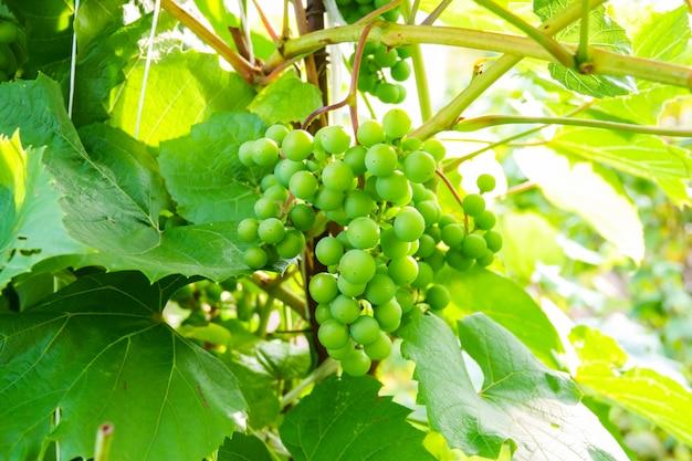Jeunes raisins verts dans le vignoble. début de l'été, fermez les raisins poussant sur des vignes dans un vignoble.