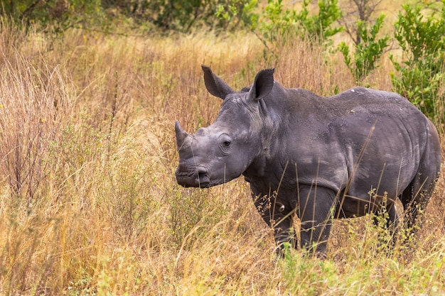 Les jeunes rhinocéros dans la savane de meru kenya afrique