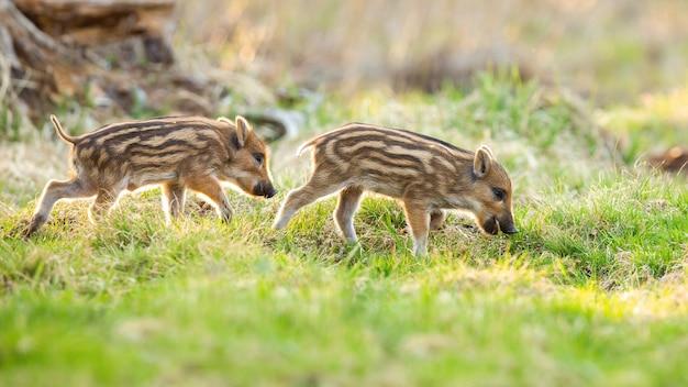 Les jeunes sangliers paissant sur la prairie au printemps nature