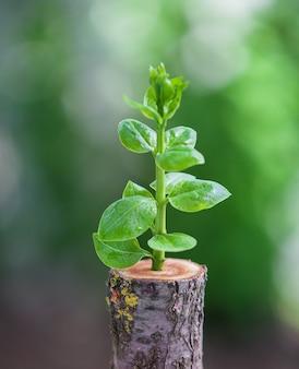 De jeunes semis d'arbres poussent à partir d'une souche, d'un nouveau concept de vie et de renaissance