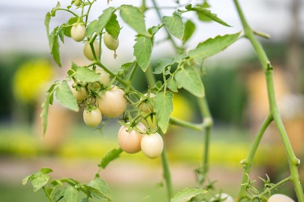 Jeunes tomates sur l'arbre dans un potager bio.