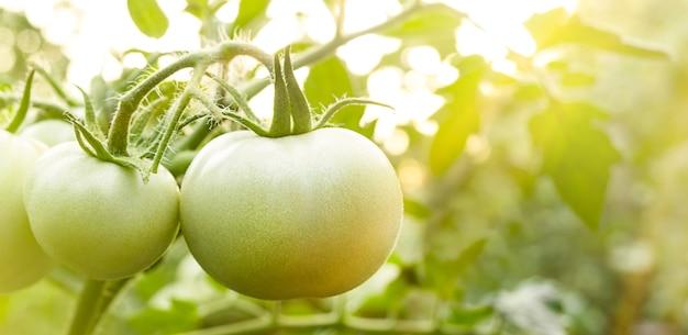 Les jeunes tomates vertes poussent dans le jardin sous les rayons du soleil