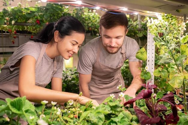 Les jeunes travailleurs de la serre ou les agriculteurs en vêtements de travail se penchant sur lit de jardin avec une nouvelle sorte de fraises en fleurs