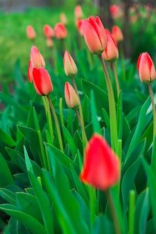Les jeunes tulipes poussent près de la route dans le pays