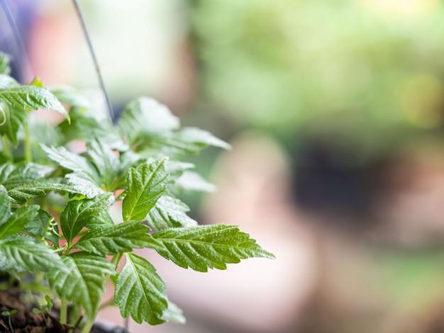 Jiaogulan, herbe miracle sur une nature floue naturelle