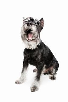 Joie. chiot mignon mignon de chien schnauzer nain ou animal de compagnie posant isolé sur mur blanc. concept de mouvement, amour des animaux de compagnie, vie animale. il a l'air heureux, drôle. copyspace pour l'annonce. jouer, courir.